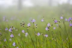 Λοφιοφόρο φίδι λουλουδιών ή γλυκό πορφυρό λουλούδι Στοκ Εικόνα