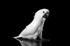 Λοφιοφόρο Cockatoo alba, ομπρέλα, Ινδονησία, που απομονώνεται στο μαύρο υπόβαθρο Στοκ Εικόνα