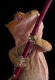λοφιοφόρο gecko κάτω από Στοκ φωτογραφίες με δικαίωμα ελεύθερης χρήσης