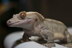 Λοφιοφόρο Gecko με ένα χαμόγελο Στοκ Φωτογραφίες
