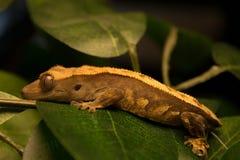 Λοφιοφόρο Gecko σε ένα φύλλο Στοκ Εικόνα