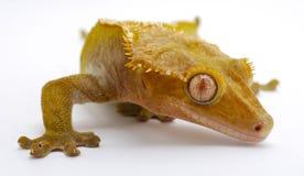 λοφιοφόρο gecko Στοκ εικόνες με δικαίωμα ελεύθερης χρήσης