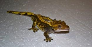 Λοφιοφόρο gecko, ciliatus Correlophus Στοκ Φωτογραφία