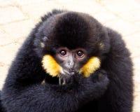 Λοφιοφόρο Gibbon δάχτυλο δαγκώματος cao -cao-vit Στοκ Εικόνες