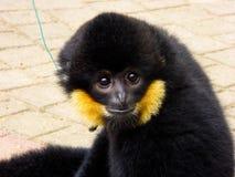 Λοφιοφόρο Gibbon να κοιτάξει επίμονα cao -cao-vit Στοκ Εικόνες