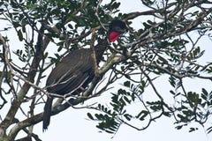 Λοφιοφόρο Guan στο δέντρο στοκ φωτογραφία με δικαίωμα ελεύθερης χρήσης