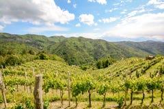 Λοφώδεις αμπελώνες με τα σταφύλια κόκκινου κρασιού στις αρχές του καλοκαιριού στην Ιταλία στοκ εικόνα