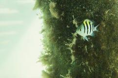 Λοχίας ψαριών σε ένα υπόβαθρο του φυκιού Στοκ φωτογραφία με δικαίωμα ελεύθερης χρήσης
