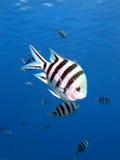 λοχίας ψαριών Στοκ Εικόνα