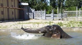 Λούζοντας ελέφαντας-αρσενικό Στοκ Φωτογραφία