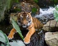 λούζοντας τίγρη Στοκ Εικόνες