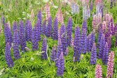 Λούπινα λουλουδιών Στοκ φωτογραφία με δικαίωμα ελεύθερης χρήσης