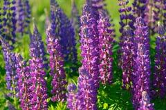 Λούπινο, λούπινο, τομέας lupine με τα ρόδινα πορφυρά και μπλε λουλούδια Στοκ Εικόνα