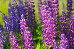 Λούπινο, λούπινο, τομέας lupine με τα ρόδινα πορφυρά και μπλε λουλούδια Στοκ Φωτογραφίες