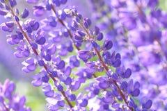 Λούπινο, λούπινο, τομέας lupine με τα ρόδινα πορφυρά και μπλε λουλούδια Στοκ φωτογραφίες με δικαίωμα ελεύθερης χρήσης