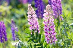 Λούπινο, λούπινο, τομέας lupine με τα ρόδινα πορφυρά και μπλε λουλούδια Στοκ εικόνες με δικαίωμα ελεύθερης χρήσης