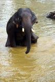 Λούσιμο ελεφάντων μωρών στον ποταμό στοκ φωτογραφία