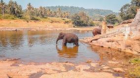 Λούσιμο ελεφάντων σε Pinnawala στοκ εικόνες