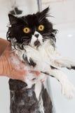 Λούσιμο μιας γάτας Στοκ Φωτογραφίες