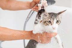 Λούσιμο μιας γάτας Στοκ Εικόνες