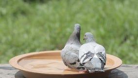 Λούσιμο πουλιών περιστεριών κατεύθυνσης στο πάρκο απόθεμα βίντεο