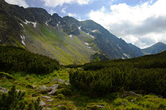 Λούτσοι βουνών με το νάνο πεύκο Στοκ Εικόνες