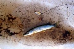 Λούτσοι, μικρό μέγεθος, που πιάνεται στη λίμνη, με τη βοήθεια της περιστροφής και του τεχνητού δολώματος τον Ιούλιο Τρόπαια του ψ στοκ φωτογραφίες με δικαίωμα ελεύθερης χρήσης