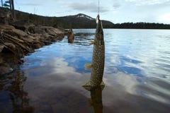 Λούτσοι που αλιεύουν τους γρήγορους ποταμούς βόρειων βουνών Στοκ Φωτογραφία