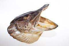 Λούτσοι σκιάχτρων esox ανασκόπησης απομονωμένο ψάρια λευκό λούτσων lucius Στοκ φωτογραφίες με δικαίωμα ελεύθερης χρήσης