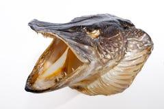 Λούτσοι σκιάχτρων esox ανασκόπησης απομονωμένο ψάρια λευκό λούτσων lucius Στοκ Φωτογραφίες