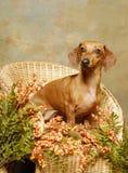 λυγαριά σκυλιών εδρών dachshund Στοκ φωτογραφίες με δικαίωμα ελεύθερης χρήσης