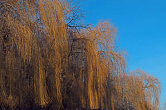 Λυγαριά στα τέλη του χειμώνα Στοκ Φωτογραφία
