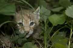 λυγξ γατακιών Στοκ εικόνα με δικαίωμα ελεύθερης χρήσης