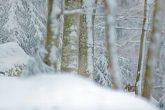 Λυγξ που κρύβονται στα δασικά ευρασιατικά λυγξ χιονιού το χειμώνα Τσεχική φύση σκηνής άγριας φύσης Χιονώδης γάτα στο βιότοπο φύση Στοκ Εικόνες