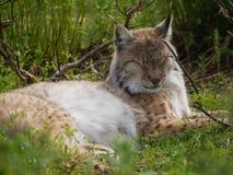 Λυγξ ύπνου στο δάσος αγριοτήτων στοκ εικόνες