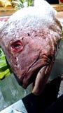 Λυθρίνι ψαριών θαλασσινών παγωμένο Στοκ Εικόνα