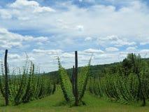 Λυκίσκοι που αυξάνονται trellis στον τομέα που χρησιμοποιείται για την μπύρα τεχνών Στοκ Εικόνες