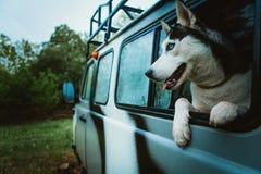 Λυπημένα γεροδεμένα βλέμματα σκυλιών από το παράθυρο καθμένος στο αυτοκίνητο Στοκ Εικόνες