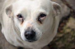 Λυπημένα μάτια σκυλιών στοκ φωτογραφίες