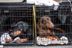 Λυπημένα σκυλιά στα κλουβιά Στοκ Φωτογραφία