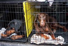 Λυπημένα σκυλιά στα κλουβιά Στοκ Εικόνες