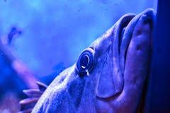 Λυπημένα ψάρια Στοκ Εικόνες