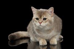 Λυπημένη βρετανική γάτα με τη χνουδωτή ουρά που φαίνεται ο προς τα εμπρός απομονωμένος Μαύρος Στοκ φωτογραφία με δικαίωμα ελεύθερης χρήσης