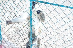 Λυπημένοι πίθηκοι στο κλουβί ζωολογικών κήπων Εκλεκτής ποιότητας εικόνα δύο πιθήκων που φαίνονται αποκαρδιωμένων ένας παλαιός ζωο στοκ εικόνες