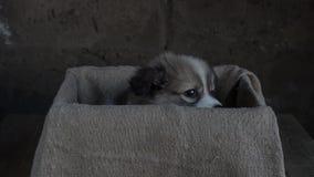 Λυπημένος λίγη συνεδρίαση κουταβιών σε ένα κιβώτιο και burlap απόθεμα βίντεο
