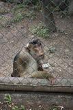 Λυπημένος αστείος πίθηκος μέσα στο κλουβί Στοκ Φωτογραφία