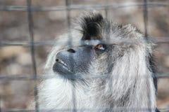 Λυπημένος πίθηκος σε ένα κλουβί στοκ εικόνες