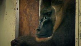 Λυπημένος πίθηκος στο ζωολογικό κήπο φιλμ μικρού μήκους