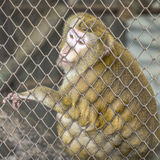 Λυπημένος πίθηκος στο κλουβί Στοκ Φωτογραφίες