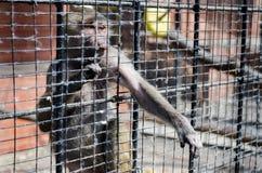 Λυπημένος πίθηκος Στοκ Φωτογραφία